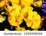 Yellow Wild Pansy Or Viola...