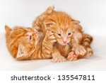 Stock photo two funny playful little red hair kittens playing with each other 135547811