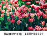 beautiful pink tulips in the... | Shutterstock . vector #1355488934