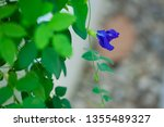 butterfly pea flower  clitoria... | Shutterstock . vector #1355489327