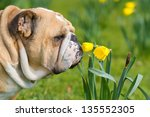 Happy Cute English Bulldog Dog...