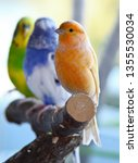 Domestic Canary  Serinus...