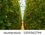 tomato plants growing in a... | Shutterstock . vector #1355562794