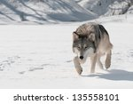 Grey Wolf  Canis Lupus  Stalks...