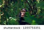 Juvenile Chimp At Kibale...
