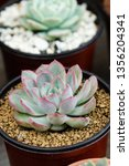 close up image of echeveria... | Shutterstock . vector #1356204341