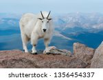 Mountain Goat living at high altitude