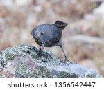 blue rock thrush  monticola... | Shutterstock . vector #1356542447