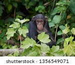 chimpanzee in its natural... | Shutterstock . vector #1356549071