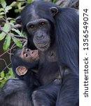 chimpanzee in its natural... | Shutterstock . vector #1356549074