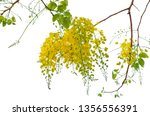 blooming of golden shower or... | Shutterstock . vector #1356556391