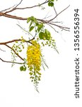 blooming of golden shower or... | Shutterstock . vector #1356556394