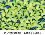 lettuce sprouts. green young... | Shutterstock . vector #1356641867