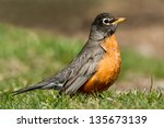 American Robin Foraging On The...