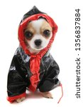 dressed chihuahua violka... | Shutterstock . vector #1356837884
