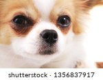 head of my sweet chihuahua... | Shutterstock . vector #1356837917