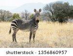 Mountain zebra  equus zebra ...