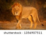 Small photo of Beautiful lion male portrait in amazing evening light. Wild animal in the nature habitat. African wildlife. This is Africa. Lions leader. Panthera leo.
