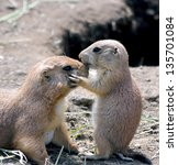 Stock photo adorable black tailed prairie dog puppy kissing his mother at nose 135701084