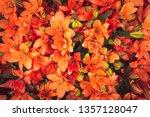 Beautiful Orange Lilies. Close...
