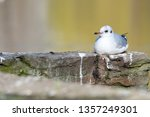 Isolated Black Headed Gull On A ...