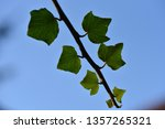 ivy  hedera   an isolated sprig ... | Shutterstock . vector #1357265321