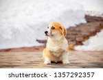 Stock photo puppy of funny red welsh corgi pembroke walk outdoor run having fun in white snow park winter 1357292357