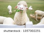 Sheep Chewing On Grass. Fresh...