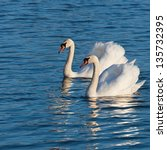 Two White Swans On A Lake