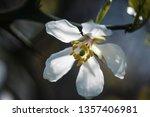 white flowers of the trifoliate ... | Shutterstock . vector #1357406981