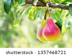 Two Ripe Pears Hanging On A...