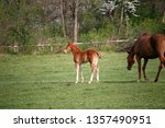 few weeks old colt live on a...   Shutterstock . vector #1357490951