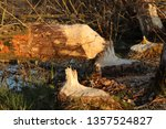 Small photo of Beaver trees. Tree trunks twinged and felled by European beaver, Castor fiber, in the water. Tree damaged by threatened rodent.