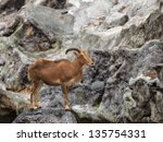 barbary sheep   ammotragus...