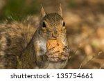 A Grey Squirrel Looking At You...