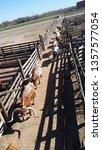 Long Horn Cattle In Texas