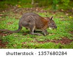 red necked pademelon in the... | Shutterstock . vector #1357680284