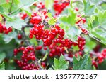 ripe red currant in a summer... | Shutterstock . vector #1357772567