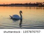Nice White Swans Swim In The...