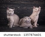Stock photo scottish straight and scottish fold kittens three kittens two kittens are sitting and one is 1357876601