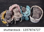 Stock photo scottish straight and scottish fold kittens funny kitten with decorations purebred kittens 1357876727