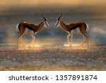 Small photo of Springbok antelope, Antidorcas marsupialis, in the African dry habitat, Etocha NP, Namibia. Two mammal from Africa. Springbok in evening back light. Sunset on safari in Namibia. Fight of deer, nature.