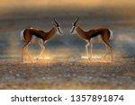 Springbok antelope  antidorcas...