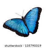 Blue Morpho Butterfly Isolated...