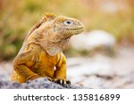 Land Iguana Endemic To The...