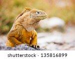 Land Iguana Endemic To The...