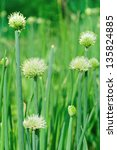 Green Chinese Onion Blooming A...