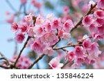 Wild Himalayan Cherry Blooming  ...