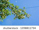 seeds  poplar fluff. this ...   Shutterstock . vector #1358811734