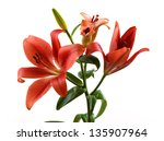 Red Lily Isolated On White